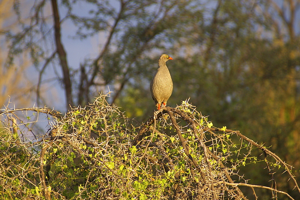 Francolin. Okavango Delta, Botswana - 907-40