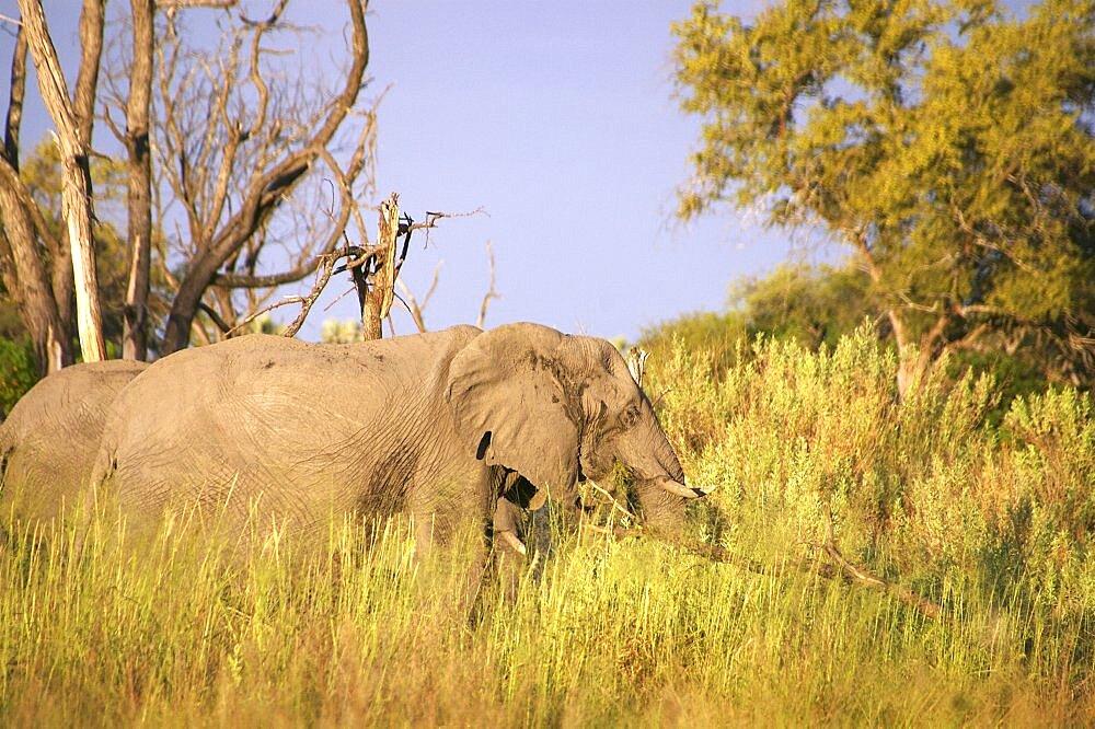 Elephant. Okavango Delta, Botswana - 907-41