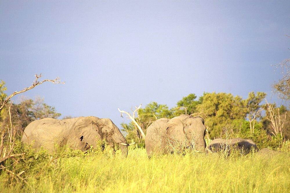 Elephant. Okavango Delta, Botswana - 907-42