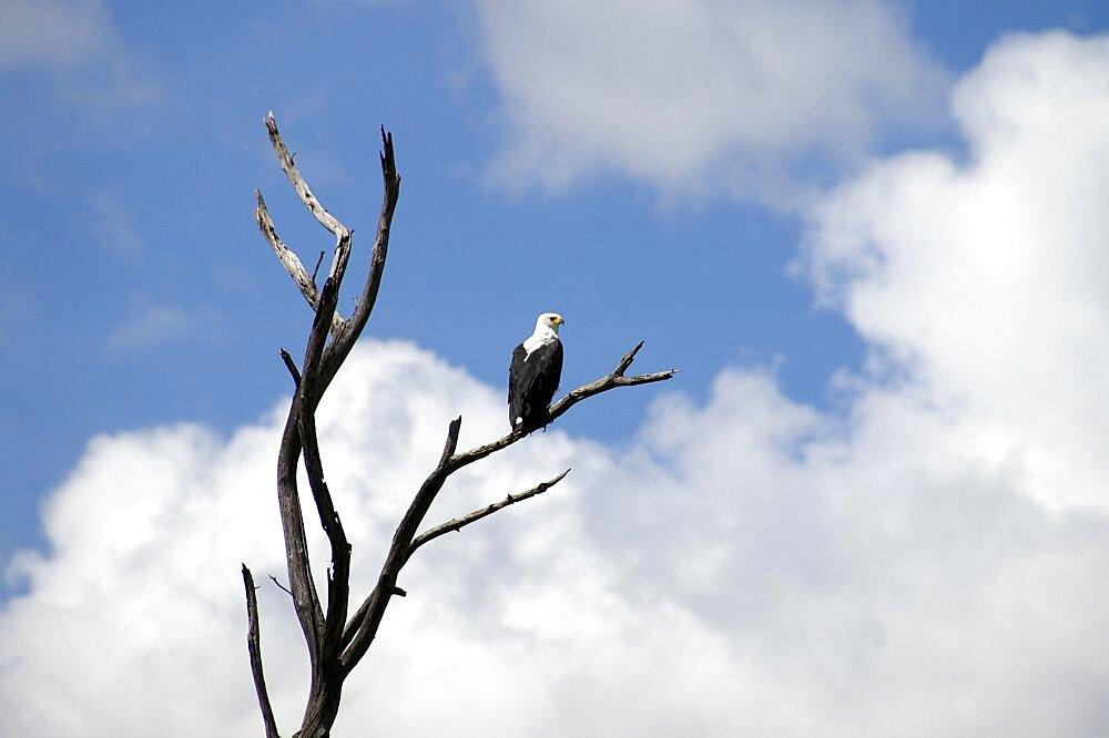 Watchful Fish Eagle. Okavango Delta, Botswana - 907-45