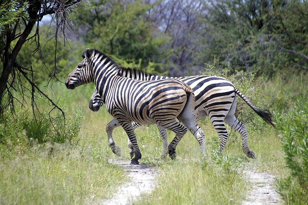 Zebra. Okavango Delta, Botswana - 907-47