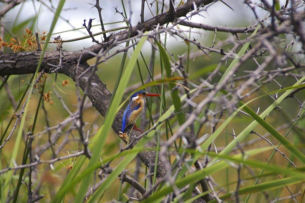 Malachite Kingfisher. Okavango Delta, Botswana - 907-48