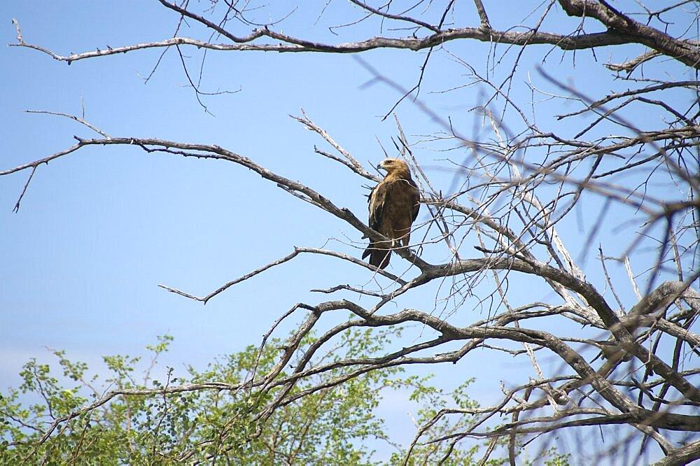 Tawny Eagle. Okavango Delta, Botswana - 907-50