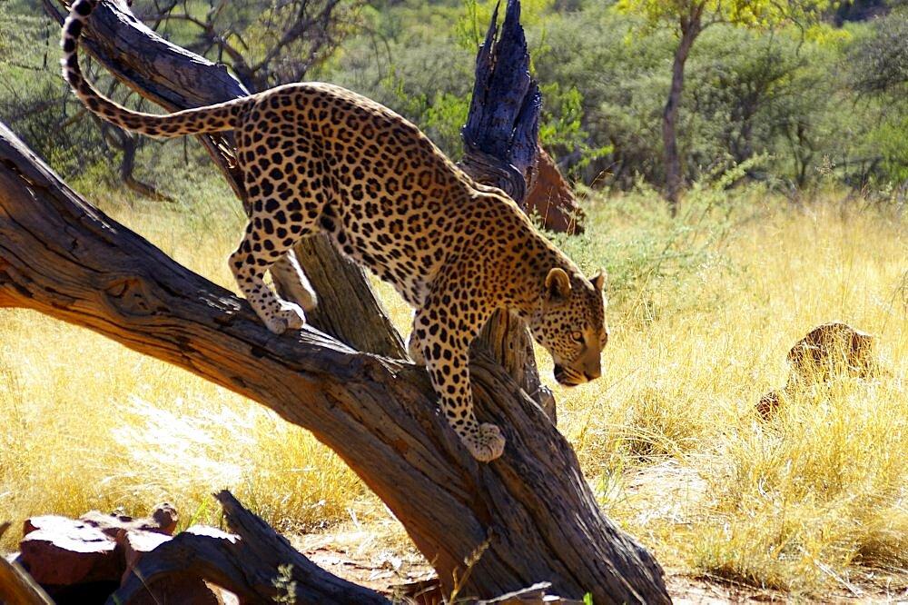 Leopard. Okonjima, Namibia - 907-52