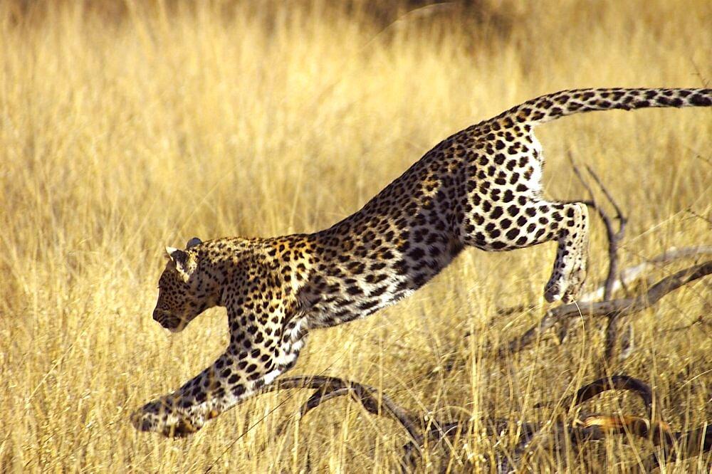 Leopard. Okonjima, Namibia - 907-53