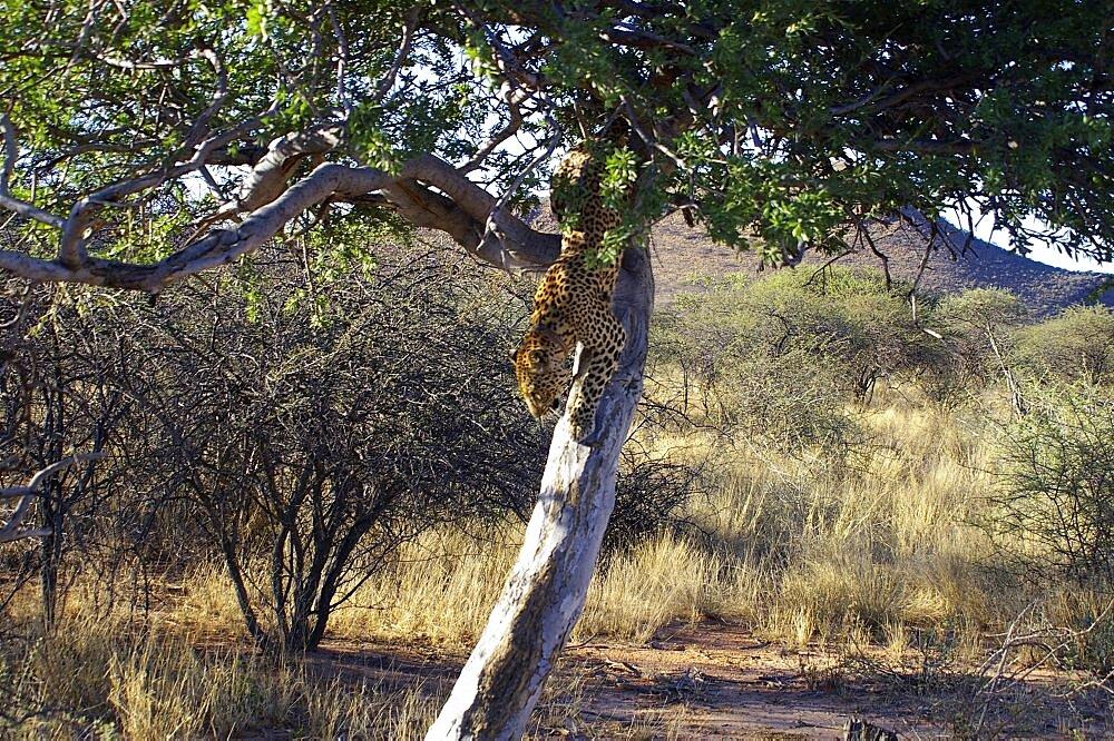 Leopard. Okonjima, Namibia - 907-55