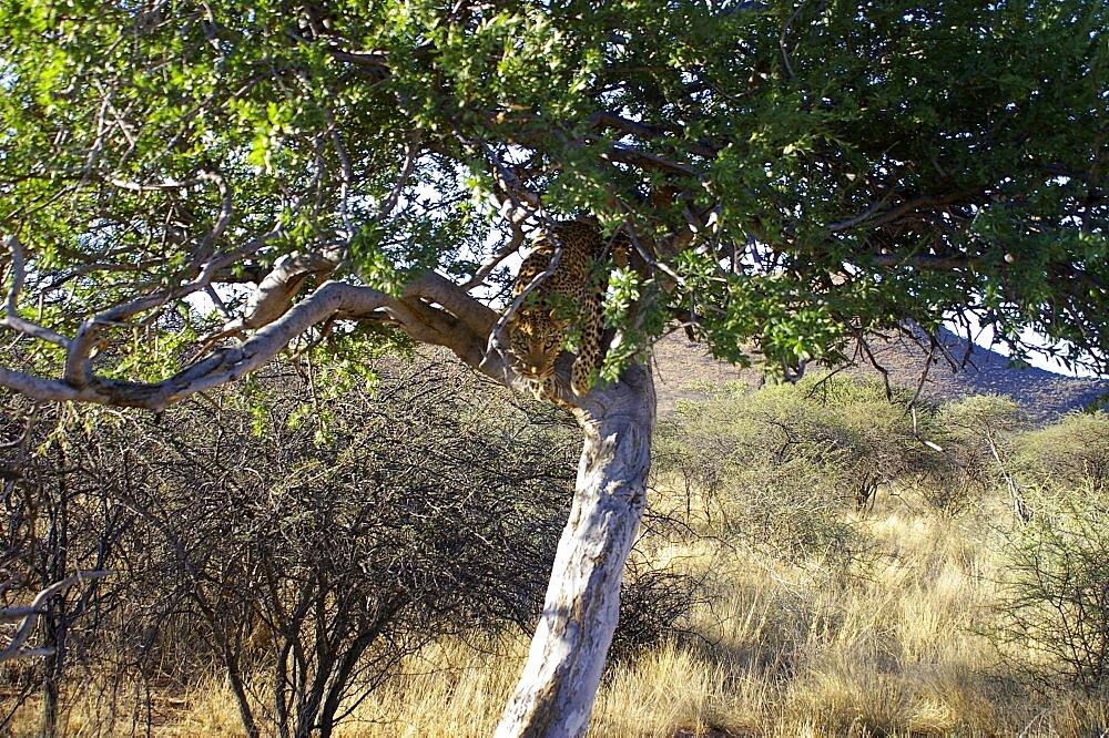 Leopard. Okonjima, Namibia - 907-56