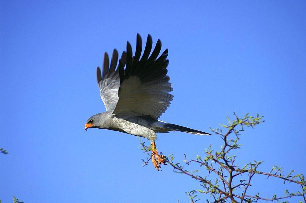 Pale Chanting Goshawk taking flight. Okonjima, Namibia - 907-57