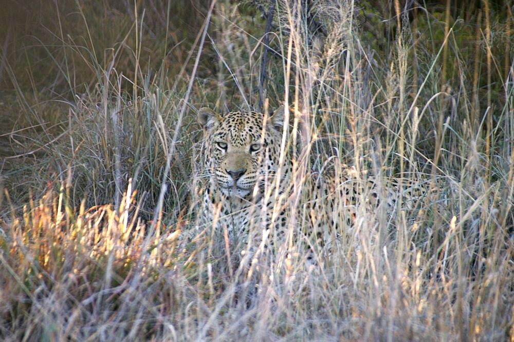 Leopard. Okonjima, Namibia - 907-58