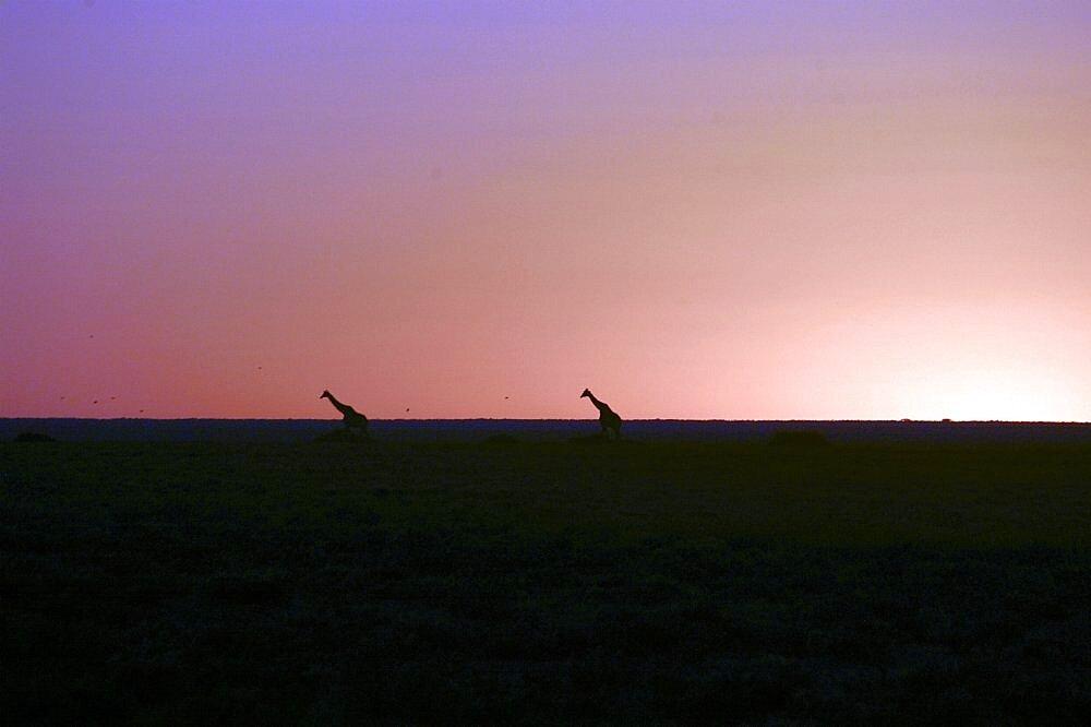 Giraffe at sunset on Etosha Pan. Etosha National Park, Namibia - 907-59
