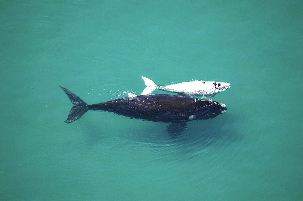 Southern Right Whale (Eubalaena australis). Mother and albino calf. The Cape, South Africa - 907-6
