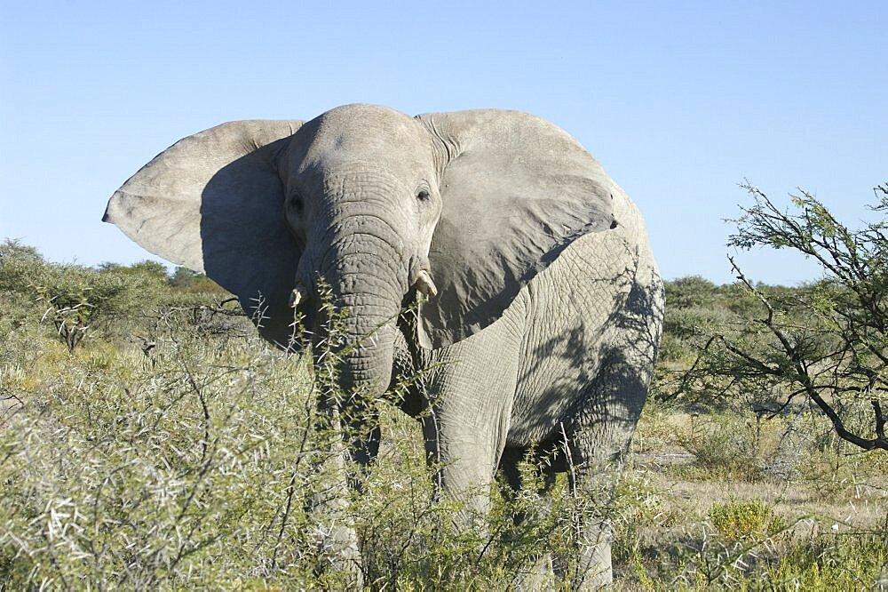 Elephant. Etosha National Park, Namibia - 907-60