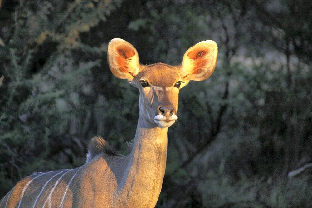 Kudu in evening light. Okonjima, Namibia - 907-62
