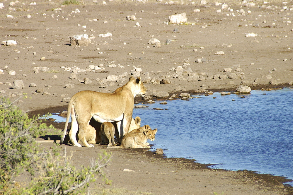 Lionness and cubs at waterhole. Etosha National Park, Namibia - 907-63