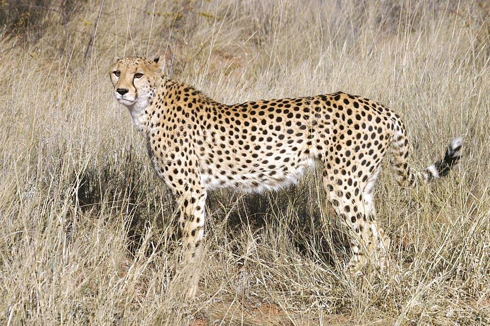 Cheetah. Okonjima, Namibia - 907-64