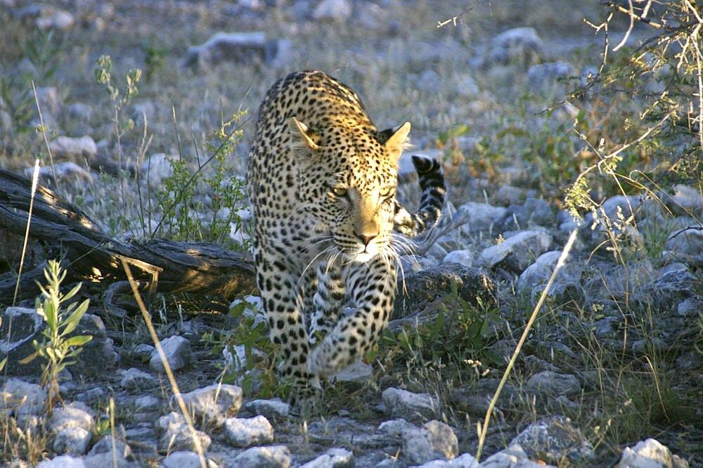 Leopard. Etosha National Park, Namibia - 907-65