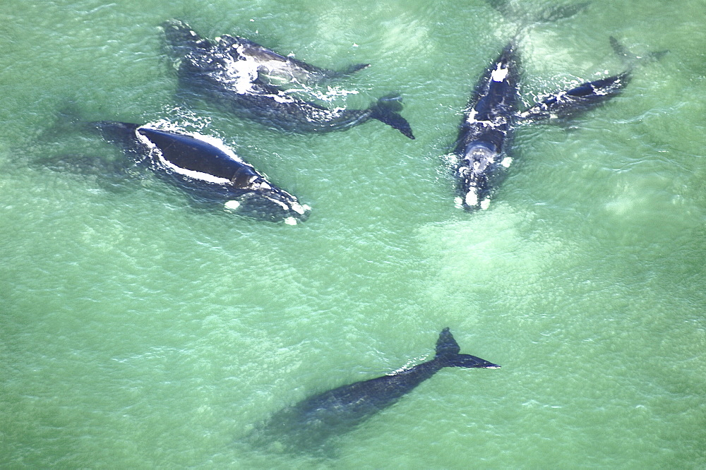 Aerial view of Southern right whales with calfs (Balaena glacialis australis) in shallow water. Cape Peninsular, South Africa   (rr) - 907-68