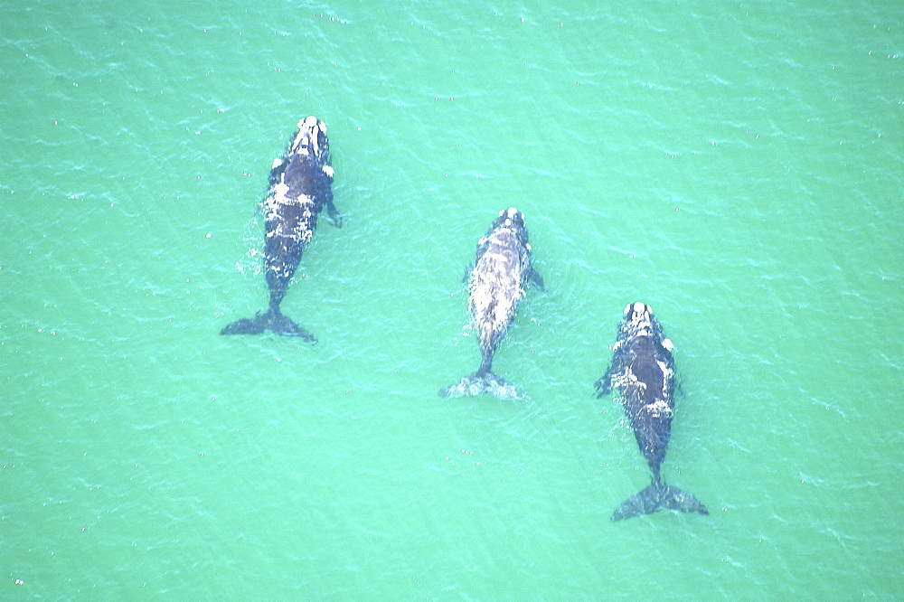 Aerial view of Southern right whales (Balaena glacialis australis) in shallow water. Cape Peninsular, South Africa   (rr) - 907-73