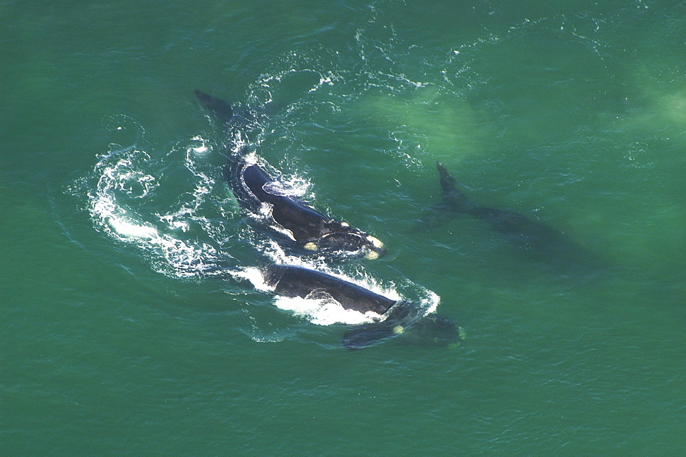 Aerial view of Southern right whales (Balaena glacialis australis). Males courting a female in shallow water. Cape Peninsular, South Africa   (rr) - 907-86