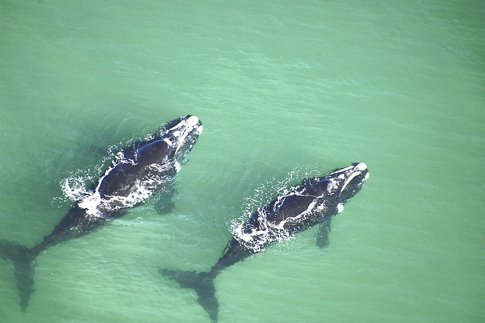 Aerial view of Southern right whales (Balaena glacialis australis) in shallow water. Cape Peninsular, South Africa   (rr) - 907-97