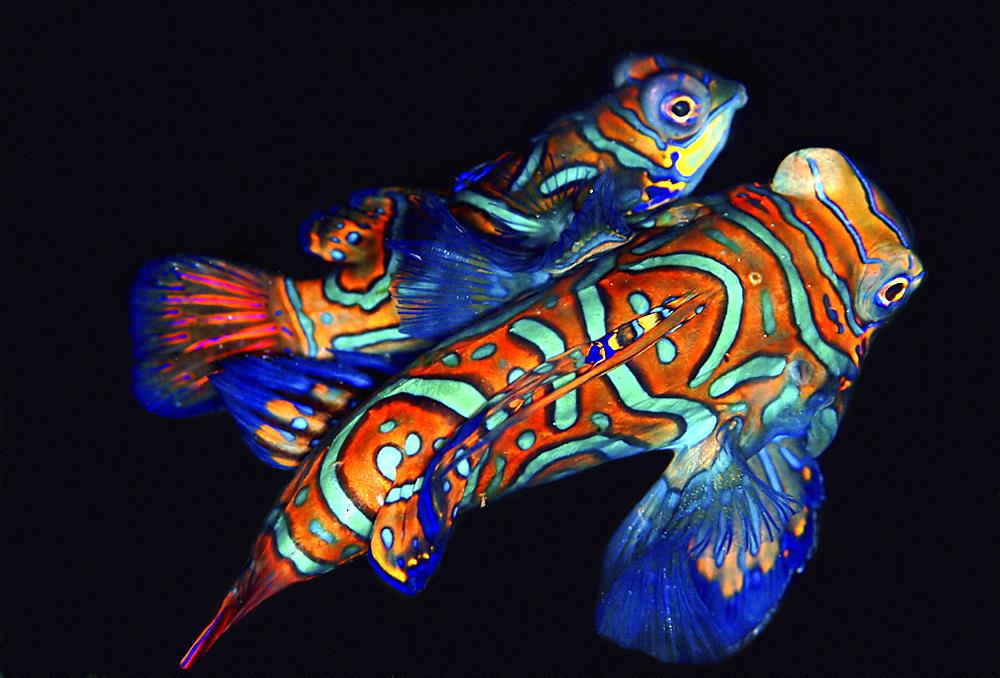 Mandarin Fish (Synchiropus splendidus). Mabul & Sipadan, Borneo, Malaysia