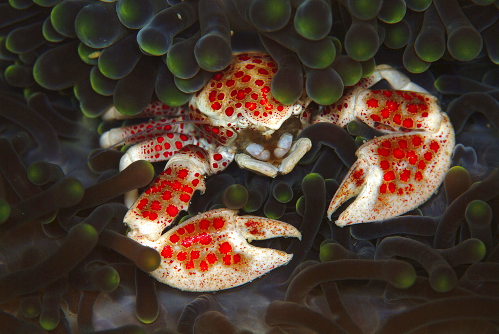 Crab in Anemone (Neopetrolisthes maculata). Mabul, Sipadan, Borneo, Malaysia, Indo-Pacific.