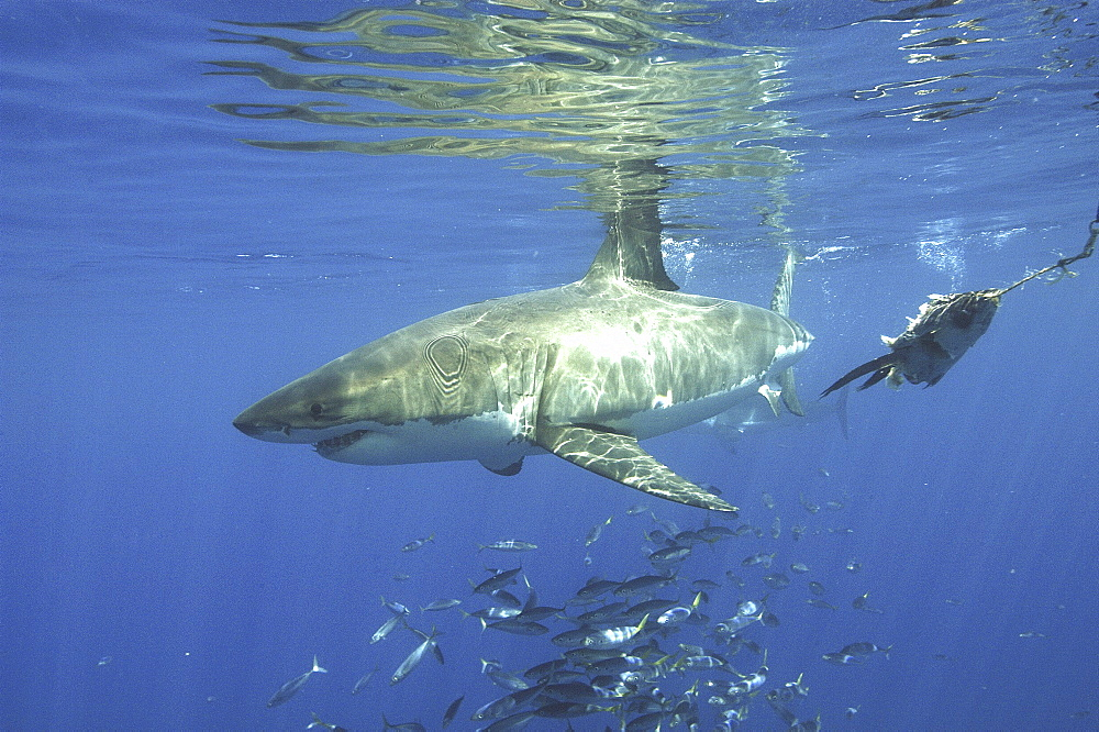 Great White Shark (Carcharodon carcharias) With shoal of fish. Isla Guadalupe, Mexico, Central AmericaRestricted resolution (Please contact us)   (RR)