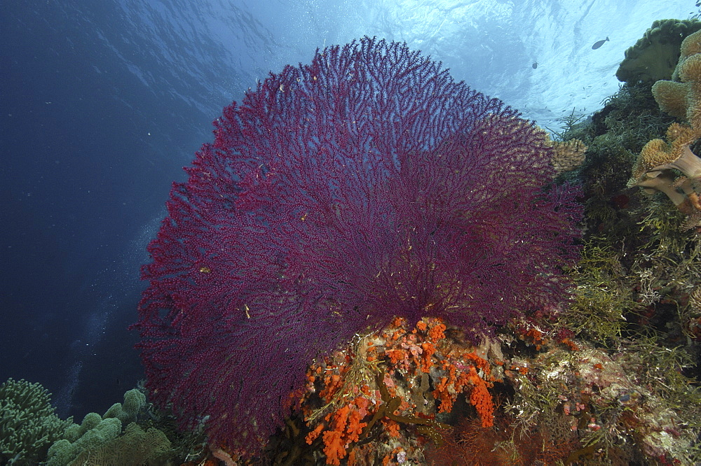 Coral Reef Scene with Sea Fans (Gorgonia sp.).