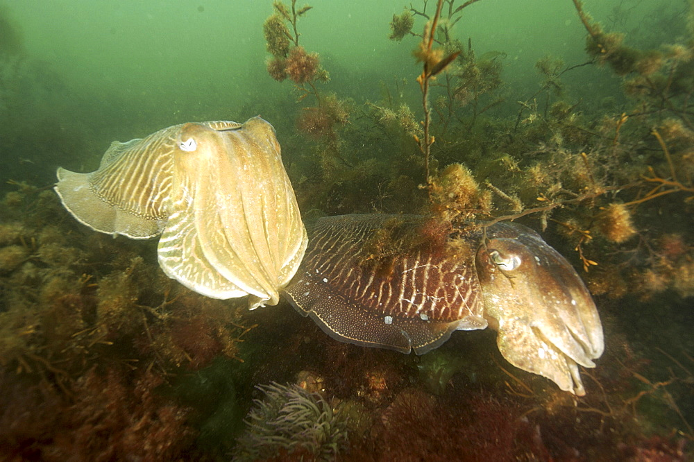 Cuttlefish (Sepia officinalis) Courtship. 
