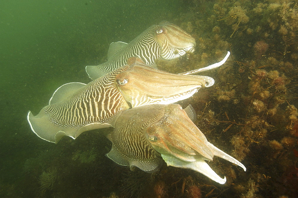 Cuttlefishes (Sepia officinalis).Babbacombe, Torquay, South Devon, UK   (RR)