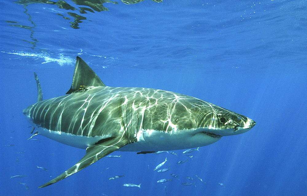 Great White Shark (Carcharodon carcharias). Isla Guadalupe, Mexico, Central America.   (RR)   - 908-19