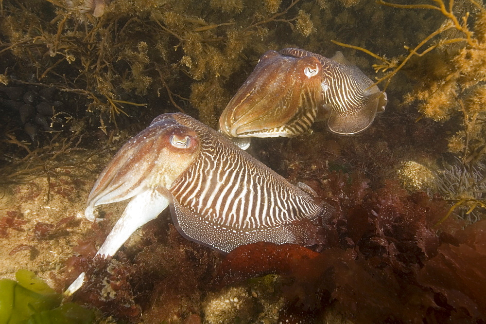 Cuttlefish (Sepia officinalis) Mating/Courtship. 