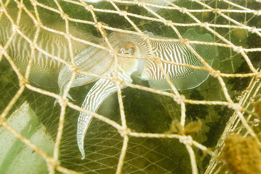 Cuttlefish (Sepia officinalis) Captured in fishing cage. Babbacombe, Torquay, South Devon, UK