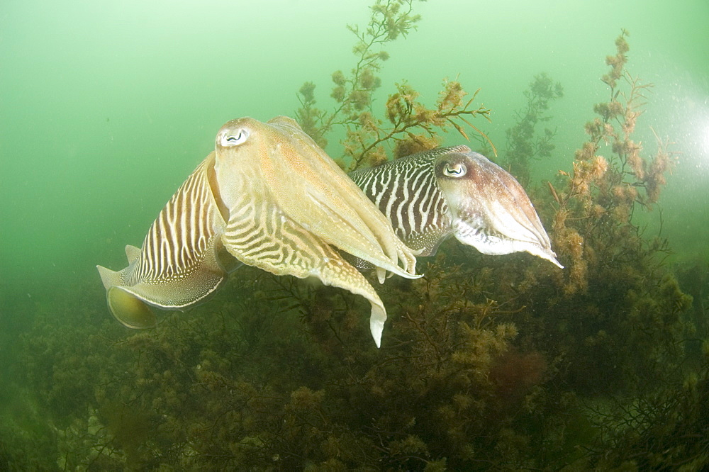 Cuttlefishes (Sepia officinalis).