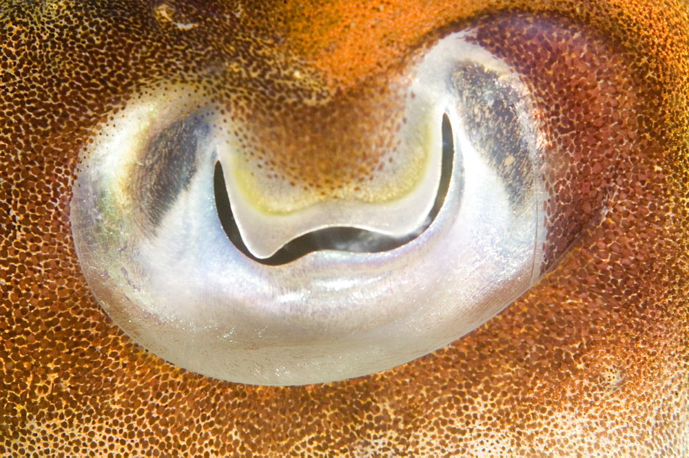 Cuttlefish (Sepia officinalis) Close up of eye. 