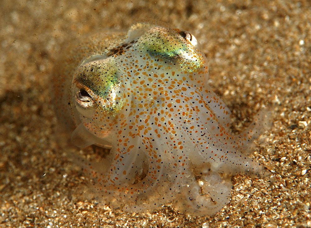 Cuttlefish (Sepia Officinalis) Location unknown - 908-209
