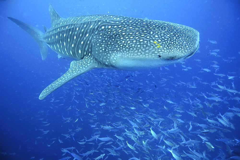 Whale Shark (Rhincodon typus).