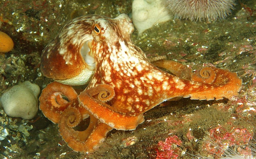 Common Octopus (Octopus vulgaris). St Abbs Reserve, Berwickshire, Scotland.   (RR)