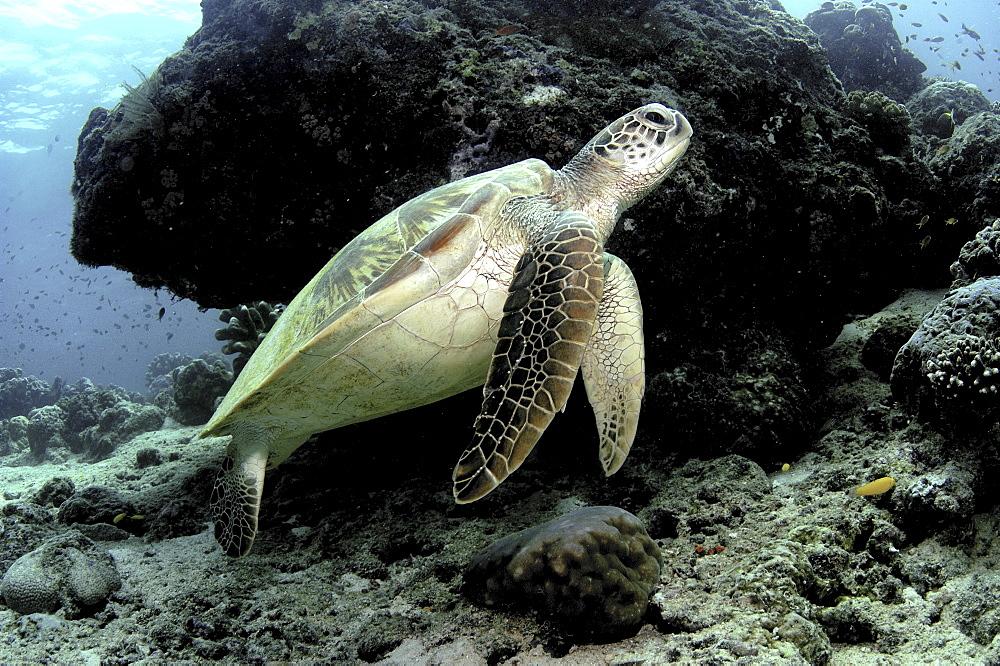 Green Turtle (Chelonia mydas).Sipadan Island, Borneo, Malaysia   (RR) - 908-220