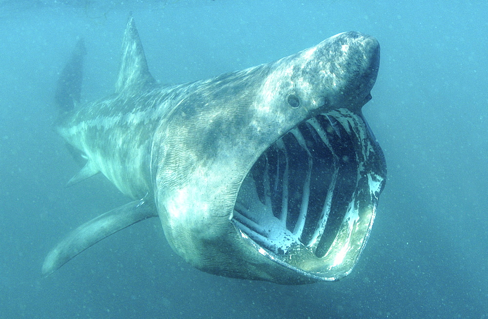 Basking Shark (Cetorhinus Maximus) feeding.