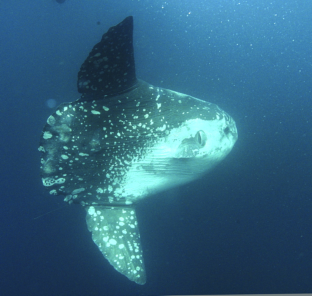 Ocean Sunfish (Mola mola). Mabul, Sipadan, Borneo, Malaysia, Indo-Pacific.