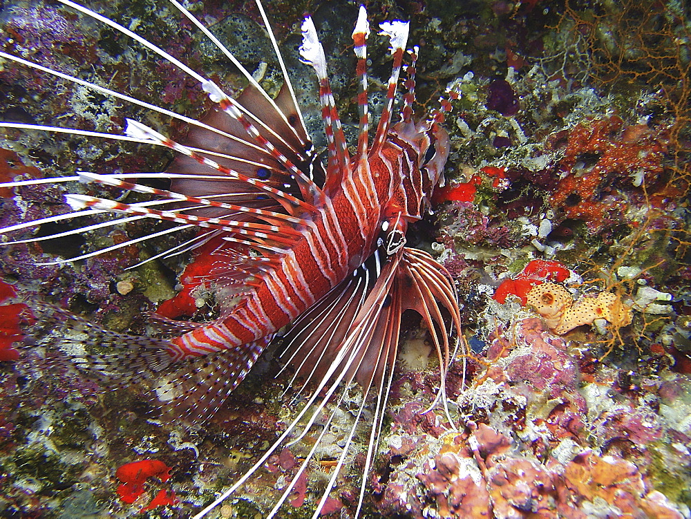 Spotfin Lionfish (Pterois antennata). Location unknownRestricted resolution (please contact us)   (RR)