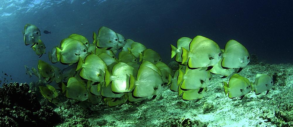 Circular Spadefish/Batfish (Platax orbicularis) Shoal. Barracuda Point, Sipadan Island, Borneo, Malaysia.   (RR)