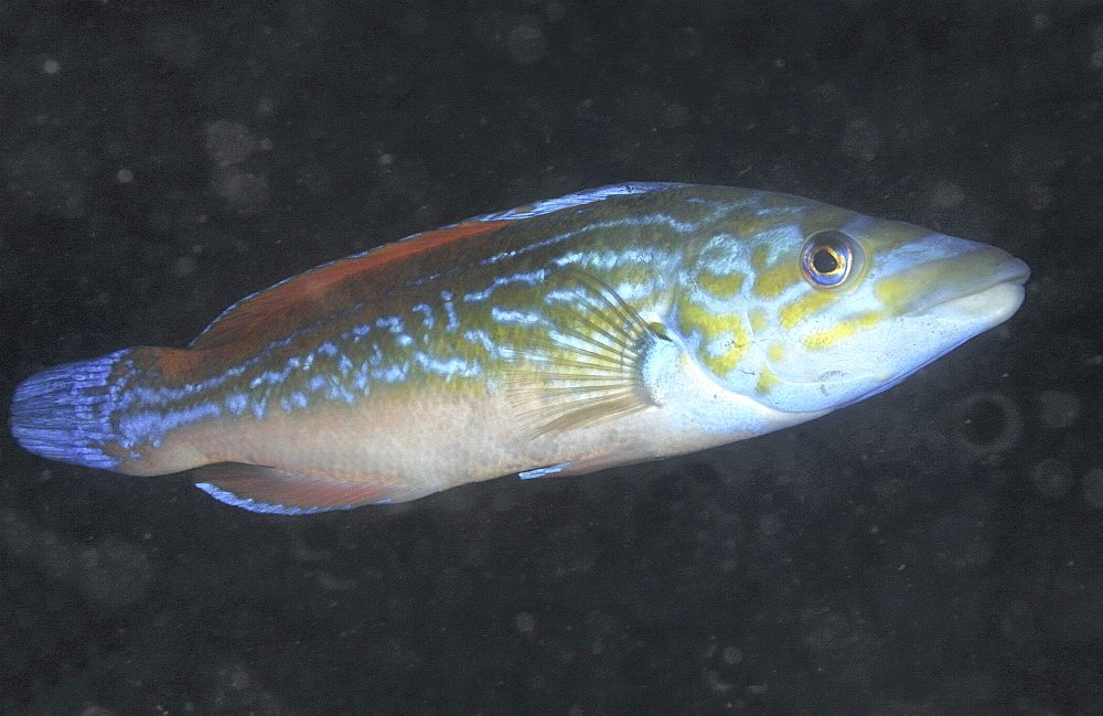 Cuckoo Wrasse (Labrus bimaculatus or L.mixtus) Male.Cornwall, UKRestricted resolution (Please contact us)   (RR)