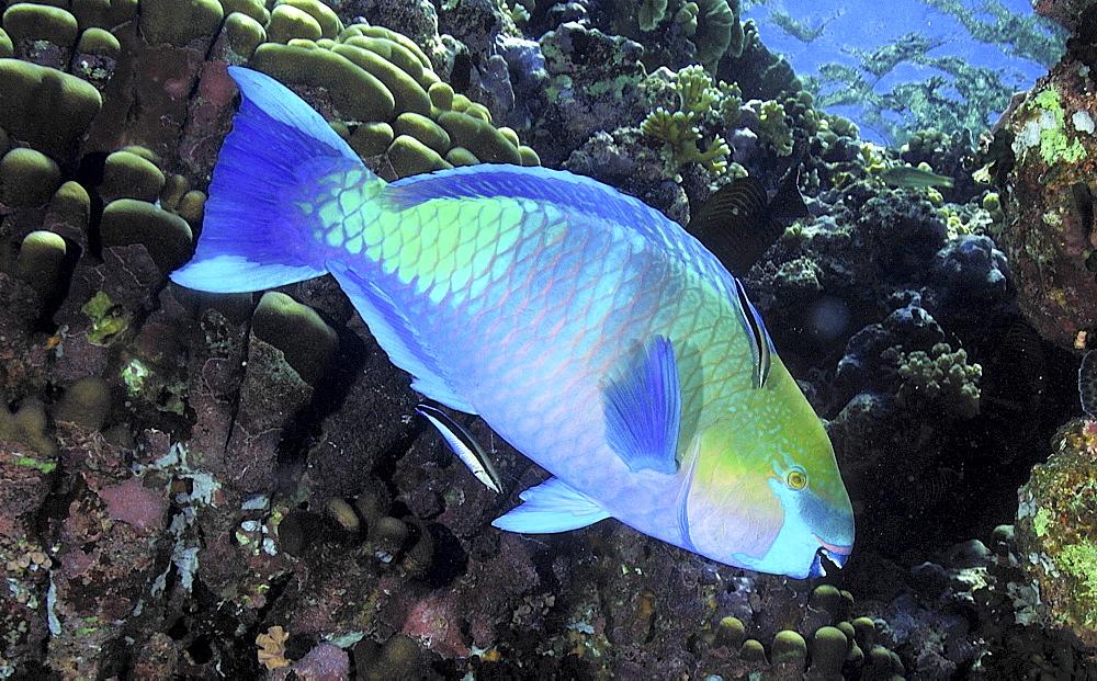 Parrotfish (Scarus sp.).Mabul, Sipadan, Borneo, Malaysia, Indo-Pacific.   (RR)