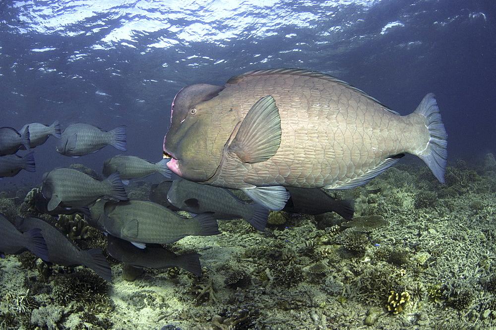 Bumphead Parrotfish (Bolbometopon muricatum) Shoal.Sipadan Island, Borneo, MalaysiaRestricted resolution (Please contact us)   (RR)