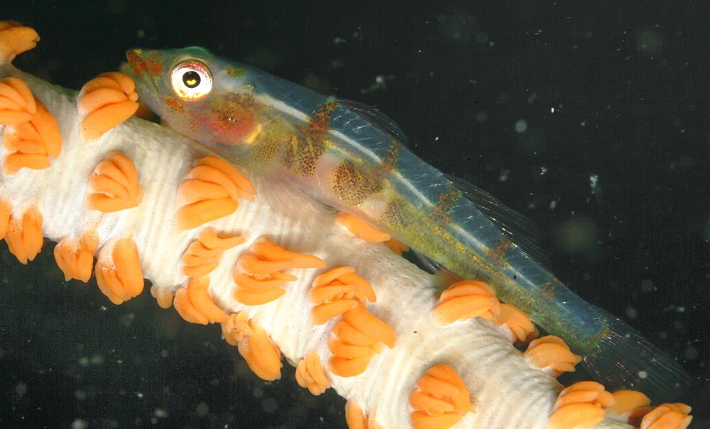 Whip Coral Goby (Bryaninops yongei). Mabul, Sipadan, Borneo, Malaysia, Indo-Pacific   (RR)