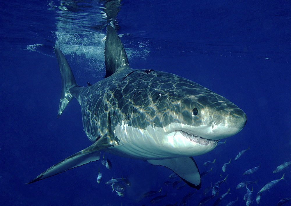 Great White Shark (Carcharodon Carcharias) swimming with shoal of fish.