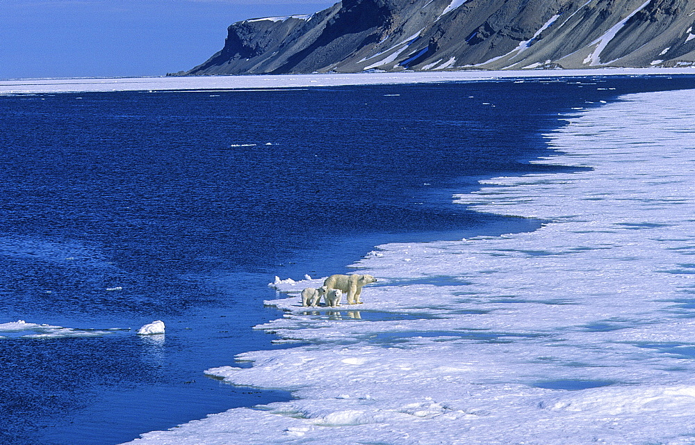 Polar Bear (Ursus Maritimus) mother with two cubs. Rijpfjorden, Svalbard.