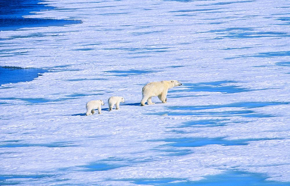 Polar Bear (Ursus Maritimus) mother with two cubs walking on sea ice. Rijpfjorden, Svalbard. - 909-12